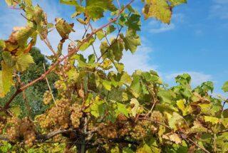 Beautiful day for harvest of Cabernet Soyhières. #biologischewijngaard #biowijn #organicwines #organicvineyard