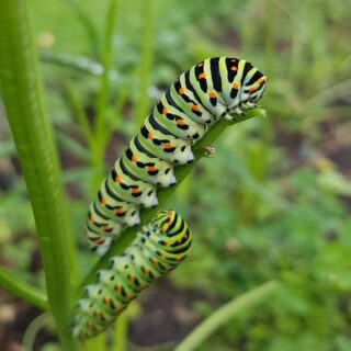 Swallowtail caterpillars munching on our carrots 🐛🦋🥕 #organicvineyard #biodiversity #biologischewijngaard #biowijn #koninginnepage