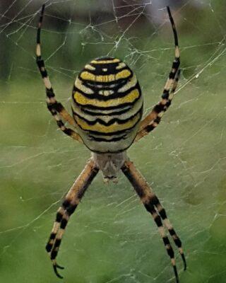 Wasp spider, let's hope it scares of fthe wasps! #organicvineyard #biologischewijngaard #biodynamischewijngaard #biodynamicvineyard #biowijn #organicwine